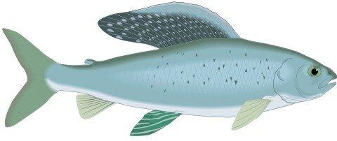 Grayling Fisch Aufkleber im Digitaldruck