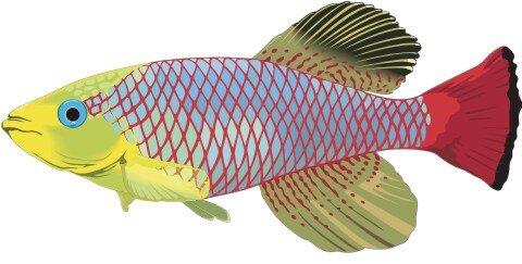 Killifish Aufkleber im Digitaldruck