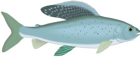 grayling fisch aufkleber
