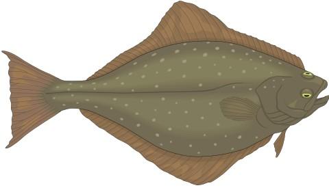 heilbutt fisch aufkleber